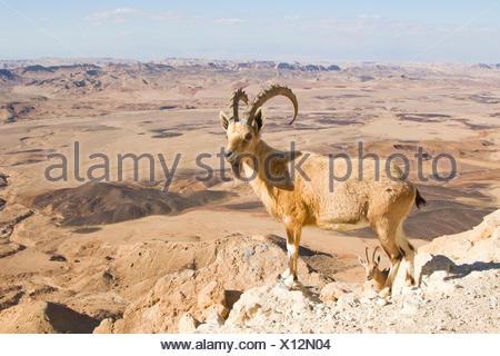 Male Nubian Ibex (Capra ibex nubiana), standing on edge of the Ramon crater, Negev Desert, Israel Stock Photo