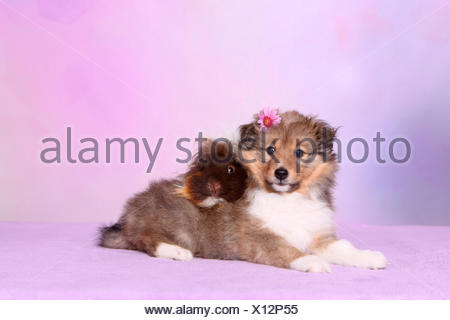 Shetland Sheepdog. Puppy (6 weeks old) and a long-haired guinea pig lying. Studio picture against a pink background - Stock Photo