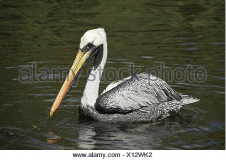 peruvian pelican, pelecanus thagus - Stock Photo