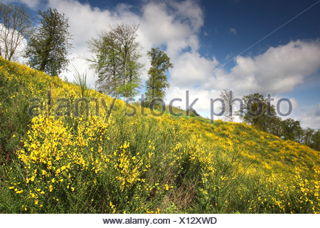 Link broom flower (Cytisus scoparius) with clouds, Belgium - Stock Photo