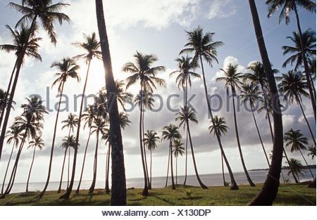 Tropical beach. Coconut palm-trees farm. Barra do Cahy beach, Bahia Brazil - Stock Photo
