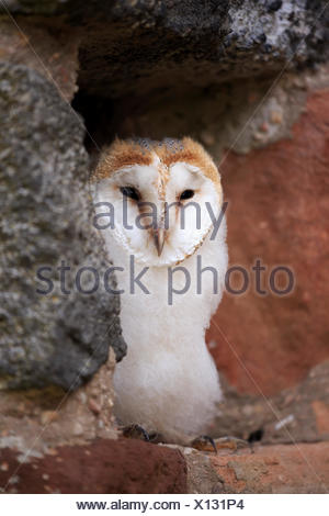 Barn Owl, young, Pelm, Kasselburg, Eifel, Germany, Europe / (Tyto alba) - Stock Photo