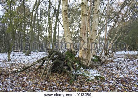 Silver Birch Betula pendula lateral growth fallen trunk snow covered woodland habitat edge river valley fen Redgrave Lopham Fen - Stock Photo