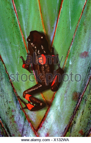 red-and-black poison-arrow frog, harlequin poison frog (Dendrobates histrionicus), climbing on a plant, Colombia - Stock Photo
