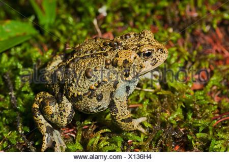 Boreal toad anaxyrus boreas boreas edmonton alberta canada boreal toad anaxyrus boreas boreas edmonton alberta canada stock photo sciox Image collections