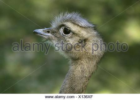 Darwin's rhea, Lesser rhea (Pterocnemia pennata), portrait - Stock Photo