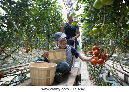 Boy with bushels harvesting tomatoes growing on tomato plant in greenhouse - Stock Photo