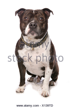 Staffordshire Bull Terrier. Adult dog sitting. Studio picture against a white background - Stock Photo