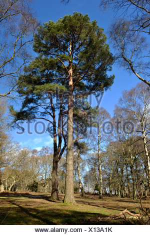 Solitary Scots Pine - Pinus sylvestris, Matley Wood, New Forest National Park, Hampshire - Stock Photo