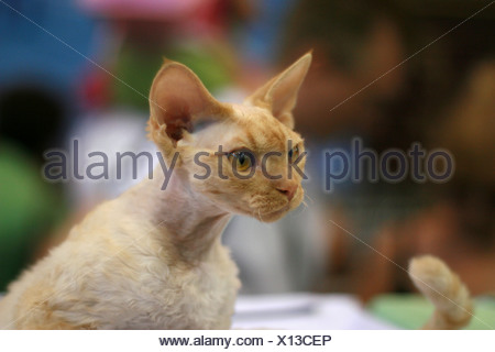 Pedigree hairless Cat - white Cornish Rex. The Cornish Rex has no hair except for down. - Stock Photo