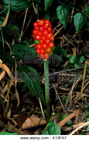 Wild Arum, Lords and Ladies or Jack in the Pulpit (Arum maculatum), seed head - Stock Photo