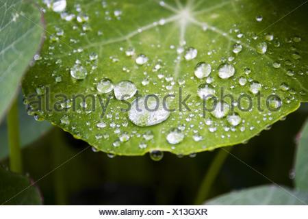 Water drops on a nasturtium leaf - Stock Photo