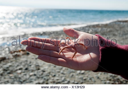 A tiny starfish shell is found at Sandcut beach trail, part of the Juan de Fuca trail on the West Coast of Vancouver Island, is - Stock Photo