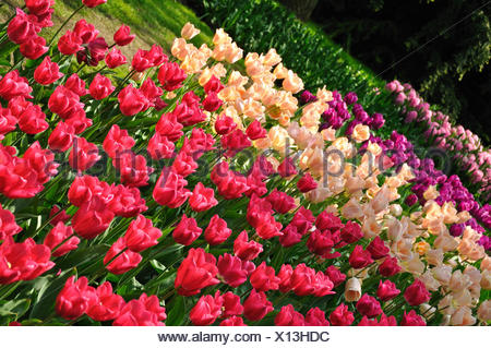 Purple, pink and white tulips in Keukenhof park in Holland - Stock Photo