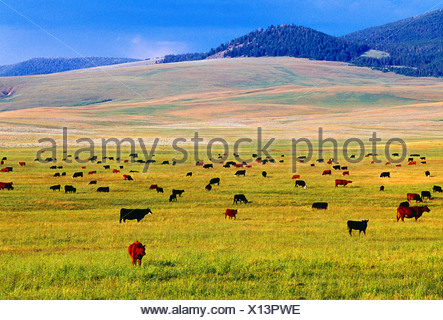 Livestock - Various breeds of beef cattle graze on a lush green pasture; Red Simmental, Black Angus and Black Baldie / Montana - Stock Photo