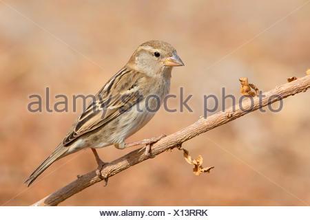 Spanish Sparrow (Passer hispaniolensis), female perched on a branch, Santiago, Cape Verde - Stock Photo