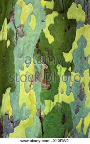 Sycamore bark detail, London, Ontario, Canada. - Stock Photo