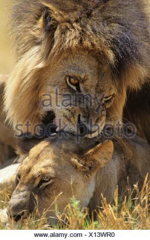 Male Lion biting Lioness on savannah - Stock Photo