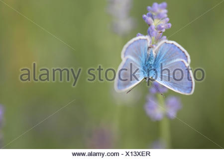 Portrait of a common blue butterfly, Polyommatus icarus, on a lavender flower, Lavandula angustifolia. - Stock Photo