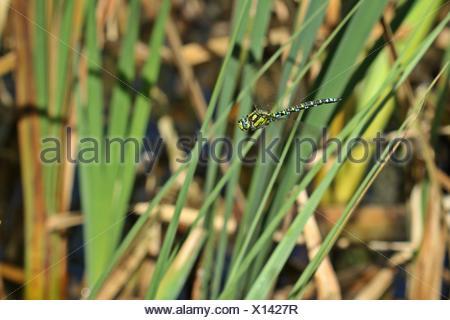 male hawker (aeshna cyanea) in flight - Stock Photo