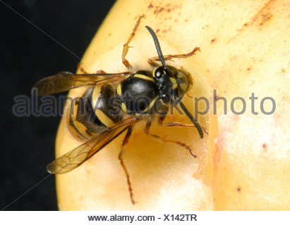 A queen wasp Vespula vulgaris on an apple - Stock Photo