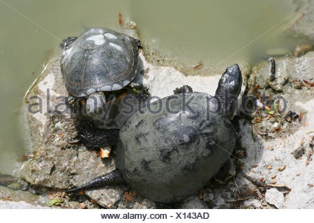 two turtles on water with rocks - Stock Photo