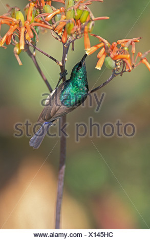 Greater Double-collared Sunbird (Nectarinia afra), male, on a blossom, feeding, South Africa - Stock Photo