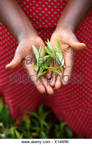 Janet Karimi showing tea leaves has been client of KWFT microfinance since 2007 She is currently servicing loan of 100,000 KS - Stock Photo