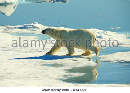 polar bear (Ursus maritimus), polar bear on pack ice, Norway, Svalbard - Stock Photo