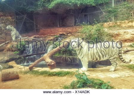White Tigers By Ponds In Zoo - Stock Photo