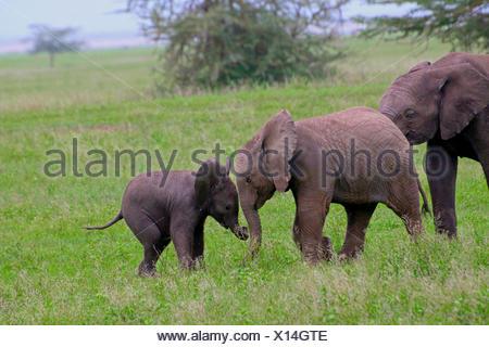 African elephant (Loxodonta africana), playing infants, Tanzania, Serengeti National Park - Stock Photo