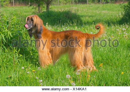 Afghanistan Hound, Afghan Hound (Canis lupus f. familiaris), standing in a meadow licking the mouth waiting for food, Germany - Stock Photo
