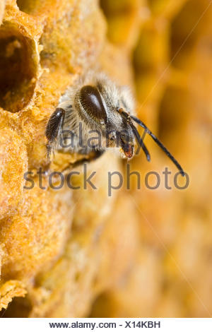 Honey Bee (Apis mellifera) adult hatching out of brood cell, Germany - Stock Photo