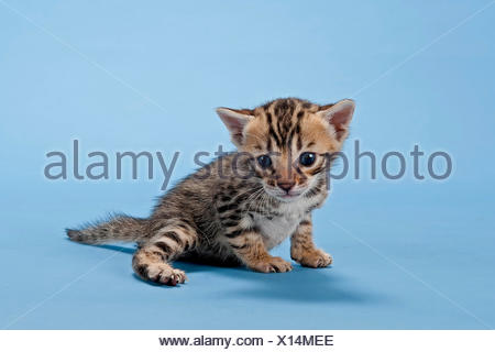 Bengal cat, kitten, 2 weeks, coat colour brown spotted