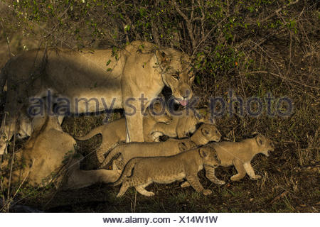 A lioness, Panthera leo, and cubs on the move. - Stock Photo
