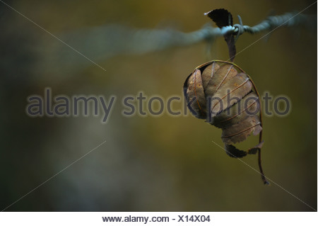 Closeup on leaf stuck on barbed wire - Stock Photo