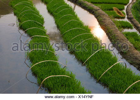 Yuanyang, China, Asia, rice terraces, growing of rice, rice fields, agriculture, water, spring - Stock Photo