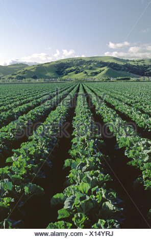cauliflower (Brassica oleracea var. botrytis), rows of young cauliflower, USA, California, Salinas Valley - Stock Photo