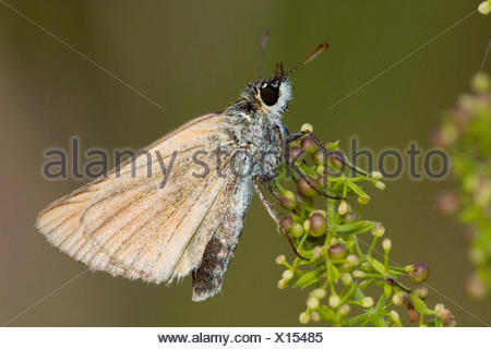 small skipper (Thymelicus sylvestris, Thymelicus flavus), on a stem, Germany - Stock Photo