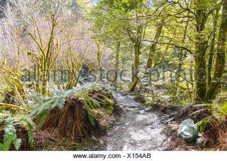 Trail through forest with fern, alpine vegetation, Mount Aspiring National Park, Otago, Southland, New Zealand