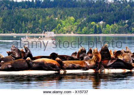 Steller sea lions basking in the sun on a wharf near Fanny Bay, BC, Canada - Stock Photo