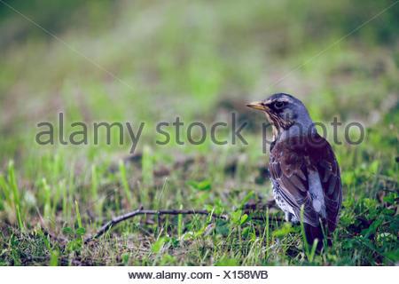 Fieldfare, Turdus pilaris, - Stock Photo