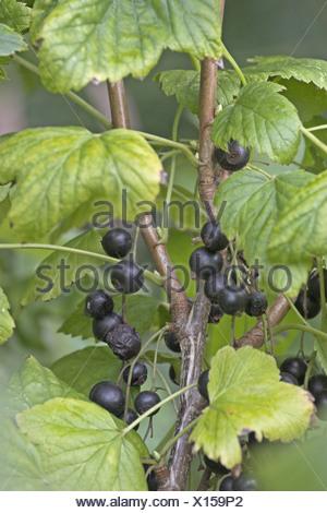 European black currant (Ribes nigrum), mature fruits - Stock Photo