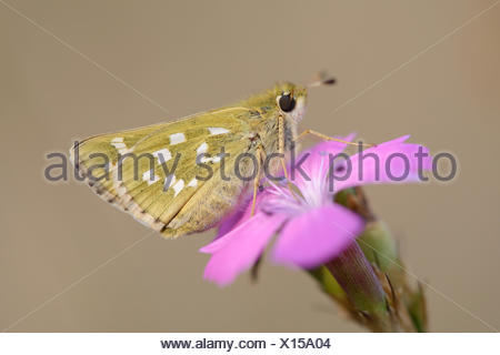 Silver-spotted Skipper (Hesperia comma) perched on a Maiden Pink (Dianthus deltoides), Thuringia, Germany - Stock Photo