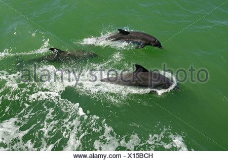 Dolphins viewed during a boat trip off Captiva Island, Sanibel Island, Florida, USA - Stock Photo