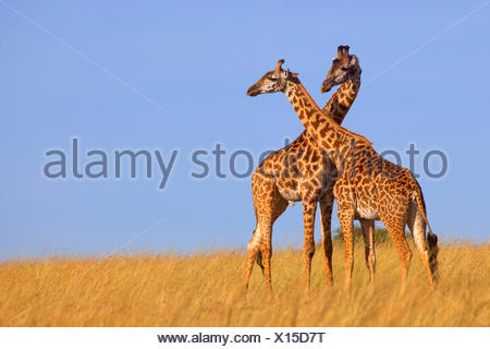 Masai giraffe (Giraffa camelopardalis tippelskirchi), two giraffes in savannah, Kenya, Masai Mara National Park - Stock Photo
