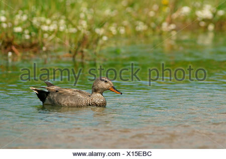 Gadwall (Anas strepera), drake, Mecklenburg-Western Pomerania, Germany - Stock Photo
