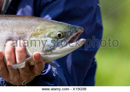 A fly fisherman holds up a sockeye salmon caught on the Koktuli River in Bristol Bay, Southwest Alaska, Summer - Stock Photo