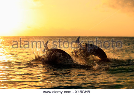 Bottlenose Dolphin (Tursiops truncatus), two dolphins leaping out of the water at sunset, captive, Honduras - Stock Photo