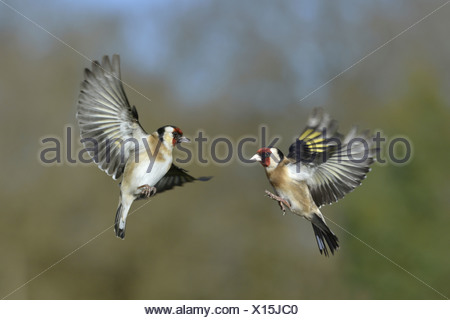 Goldfinch Carduelis carduelis - Stock Photo